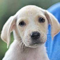 Adopt A Pet :: PUPPY PIPER - Washington, DC