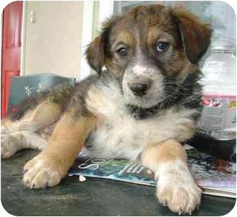 Australian Cattle Dog/Australian Shepherd Mix Puppy for adoption in El Segundo, California - Major