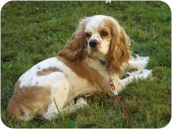 Cocker Spaniel Dog for adoption in Mentor, Ohio - Derby 3yr Adopted