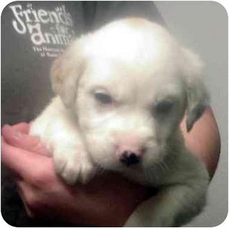 Cocker Spaniel/Labrador Retriever Mix Puppy for adoption in Manassas, Virginia - Tic
