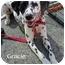 Photo 2 - Dalmatian Dog for adoption in Mandeville Canyon, California - Gracie