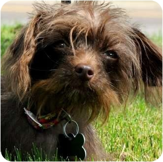 Poodle (Toy or Tea Cup)/Yorkie, Yorkshire Terrier Mix Dog for adoption in Wakefield, Rhode Island - DELTA (DAWN)