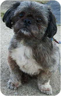 Shih Tzu Dog for adoption in Struthers, Ohio - Buster PURE
