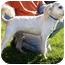 Photo 4 - Poodle (Miniature) Dog for adoption in Marina del Rey, California - Dewey