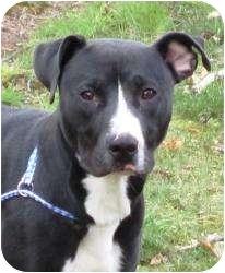 Labrador Retriever/American Pit Bull Terrier Mix Dog for adoption in Bloomfield, Connecticut - Nautical