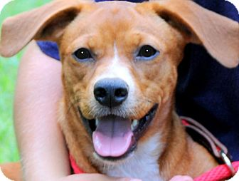 Beagle Mix Dog for adoption in Wakefield, Rhode Island - DOT(THE HAPPIEST PUP EVER!!)