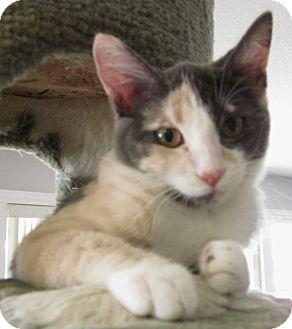 Calico Kitten for adoption in Winchester, California - Sassy Girl