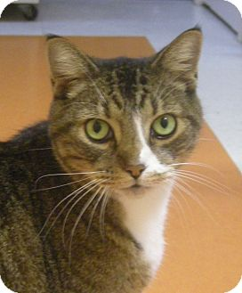 Domestic Shorthair Cat for adoption in Virginia Beach, Virginia - Moses