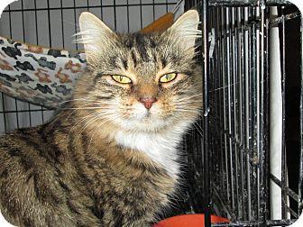 Domestic Longhair Cat for adoption in Cincinnati, Ohio - Janni