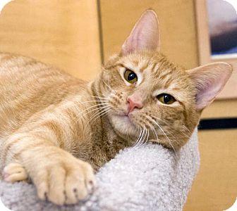 Domestic Shorthair Cat for adoption in Irvine, California - Megan