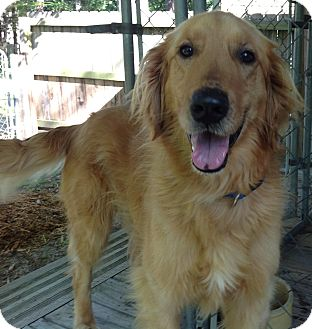 Golden Retriever Dog for adoption in New Canaan, Connecticut - Hank