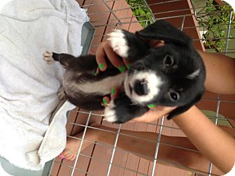 Collie Mix Puppy for adoption in Wappingers, New York - Ollie