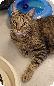 Bengal Cat for adoption in Quail Valley, California - MacTabby