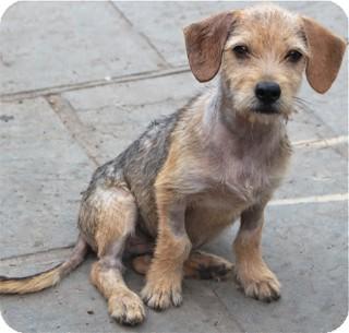 Wirehaired Fox Terrier/Dachshund Mix Puppy for adoption in Norwalk, Connecticut - Diesel