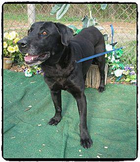 Labrador Retriever Dog for adoption in Marietta, Georgia - SIR DUKE (R)