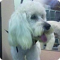 Adopt A Pet :: Holly - Seattle, WA