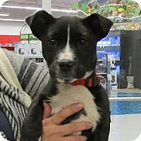 Adopt A Pet :: Roman - Gilbert, AZ