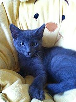 Russian Blue Kitten for adoption in Irvine, California - ARCHIE
