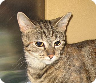 Domestic Shorthair Cat for adoption in Hamilton, New Jersey - NOELLE - 2014