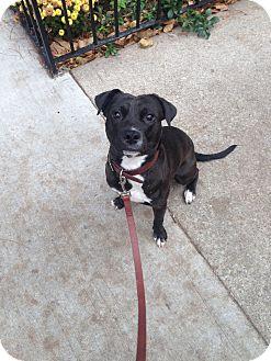 Labrador Retriever Mix Dog for adoption in Chicago, Illinois - TidBit