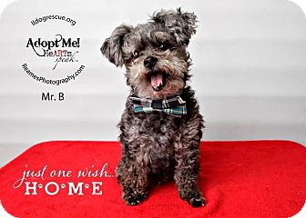 Poodle (Toy or Tea Cup) Mix Dog for adoption in Shawnee Mission, Kansas - Mr. B