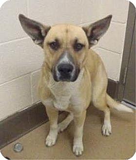 Shepherd (Unknown Type) Mix Dog for adoption in Las Vegas, Nevada - Wrigley