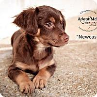 Adopt A Pet :: Newcastle - Shawnee Mission, KS