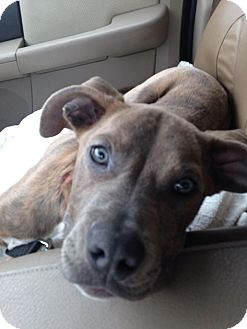 Pit Bull Terrier Mix Puppy for adoption in Worcester, Massachusetts - Gus