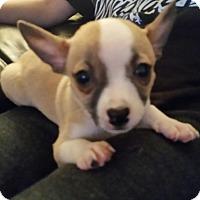 Adopt A Pet :: Dink - Chandler, AZ