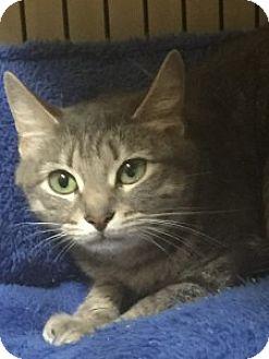 Domestic Shorthair Kitten for adoption in Medford, Massachusetts - Bebe