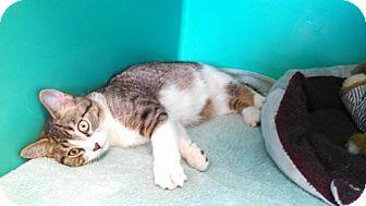 Domestic Shorthair Kitten for adoption in Maquoketa, Iowa - Almond