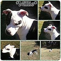 Adopt A Pet :: MILLIE - Waterbury, CT