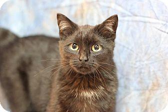 Domestic Mediumhair Kitten for adoption in Midland, Michigan - Alberto