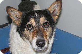 Blue Heeler/Corgi Mix Dog for adoption in Ruidoso, New Mexico - Presly
