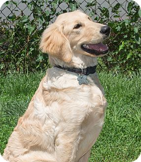 Golden Retriever Puppy for adoption in Elmwood Park, New Jersey - Leo  ADOPTED