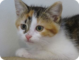 Domestic Shorthair Kitten for adoption in Carlisle, Pennsylvania - Lily