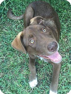 Labrador Retriever Mix Puppy for adoption in Austin, Texas - Puppy Lucky