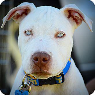 Pit Bull Terrier Puppy for adoption in Redondo Beach, California - Indigo-ADOPT Me!