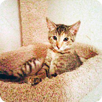 Domestic Shorthair Kitten for adoption in Arlington/Ft Worth, Texas - Moonpie