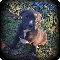 Adopt A Pet :: Mikey - Denver, NC