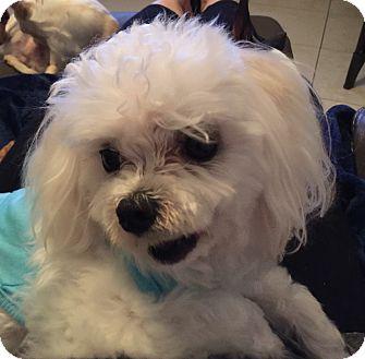 Maltese Dog for adoption in Miami, Florida - Gucci