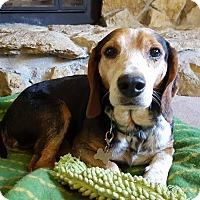Adopt A Pet :: Shilo - Lexington, MO