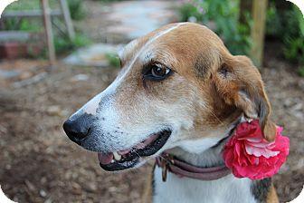 Foxhound/Hound (Unknown Type) Mix Dog for adoption in Pittsboro, North Carolina - Martina