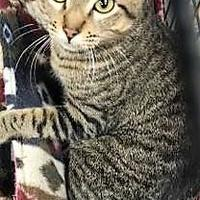 Domestic Shorthair/Domestic Shorthair Mix Cat for adoption in Beaumont, Texas - Optimus