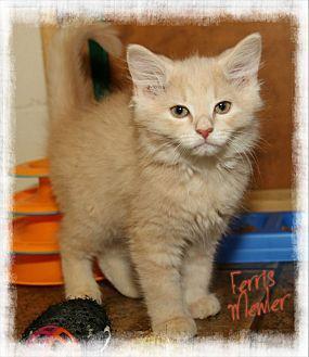 Domestic Mediumhair Kitten for adoption in Shippenville, Pennsylvania - Ferris Mewler