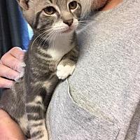 Adopt A Pet :: Duma - Windsor, CT