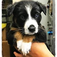 Adopt A Pet :: Bissell - Los Alamitos, CA