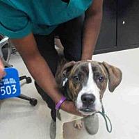 Adopt A Pet :: GUNTHER - Olivette, MO
