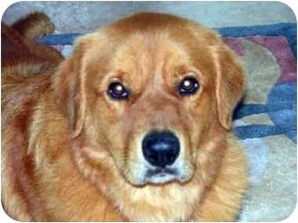 Golden Retriever Mix Dog for adoption in Houston, Texas - Cody
