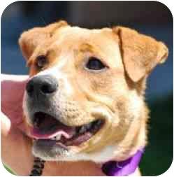 Labrador Retriever Mix Puppy for adoption in Berkeley, California - Drake